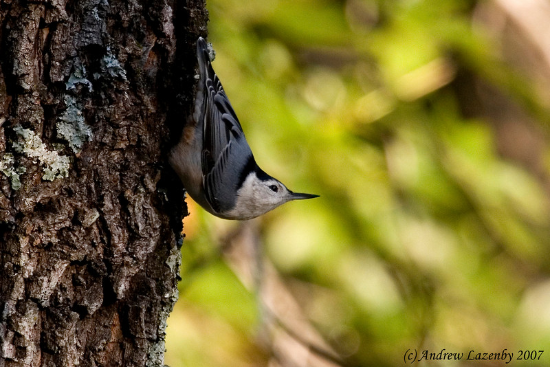 White breasted nuthatch.jpg