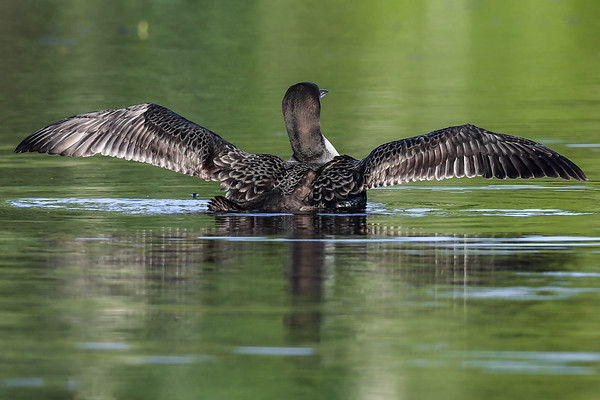 8-21-17 Common Loon Juvenile - Practice Take Offs