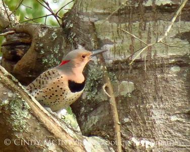 Backyard Birds Folkston