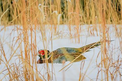 NE State Pheasant 3-2019