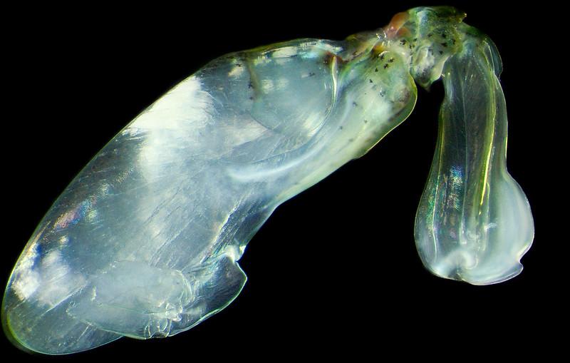 Chorisquilla tweediei raptorial appendage
