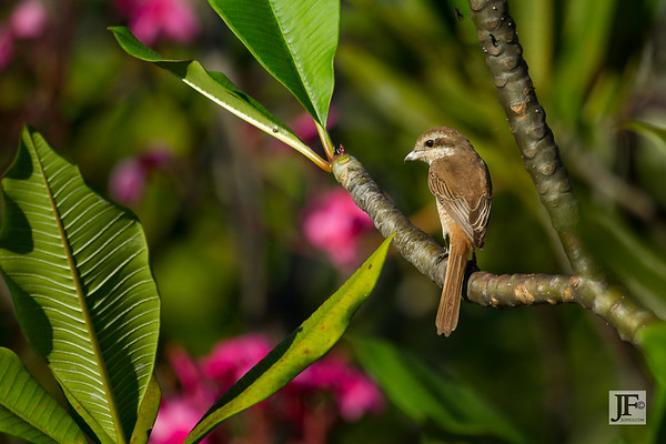Brown Shrikes