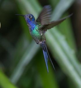Swallow-tail Hummingbird