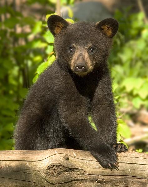 Bear Cubs-8.jpg
