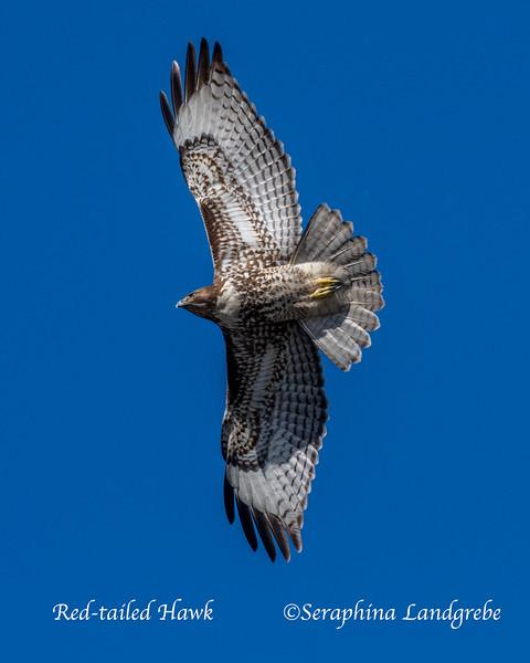 _DSC8156mmature Red-tailed Hawk.jpg
