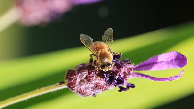 Macro Bee-0138.JPG