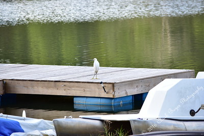 The Lake Egrets