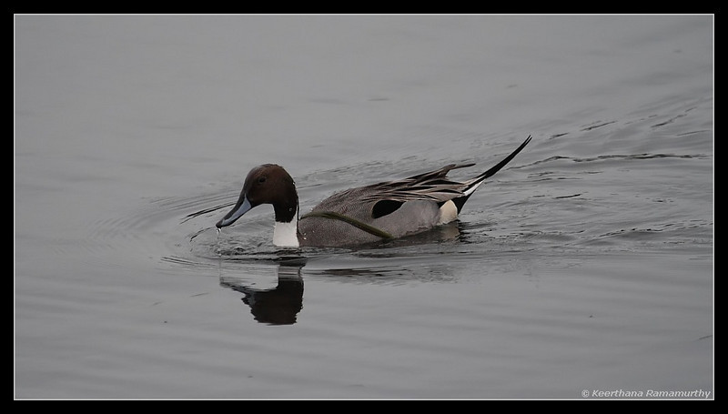Northern Pintail, Famosa Slough, San Diego County, California, December 2008