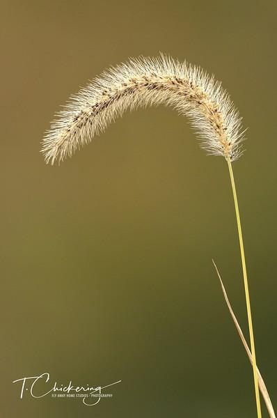 Grass Seed Head.jpg