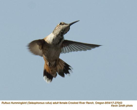 Rufous Hummingbird F27043.jpg