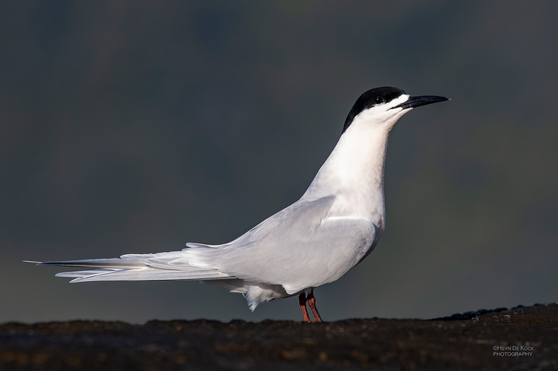 White-fronted Tern, Greymouth, SI, NZ, Sep 2018-5.jpg