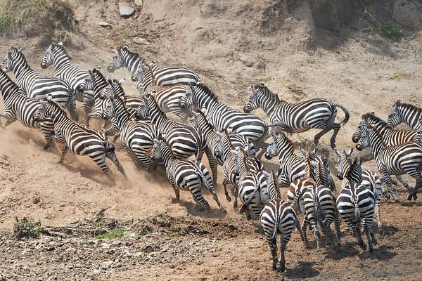 Zebra Mara Reserve Kenya 2018