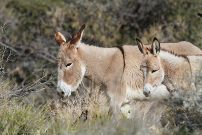 Burros, Mules and Wild Horses