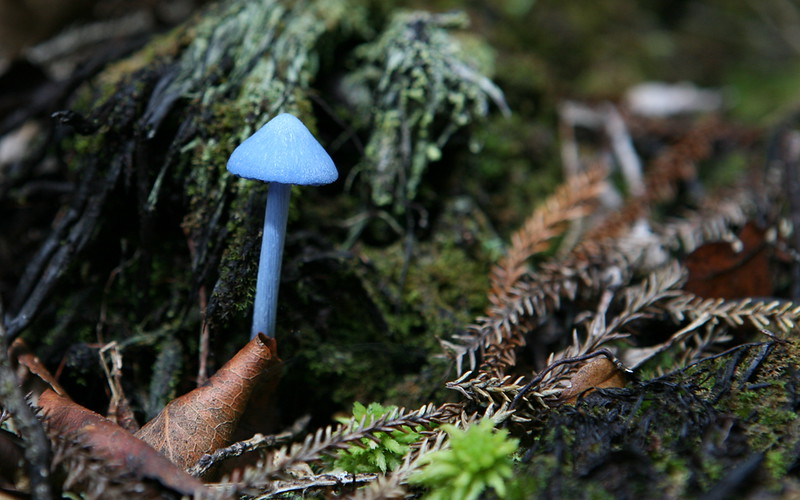 Blauer Pilz