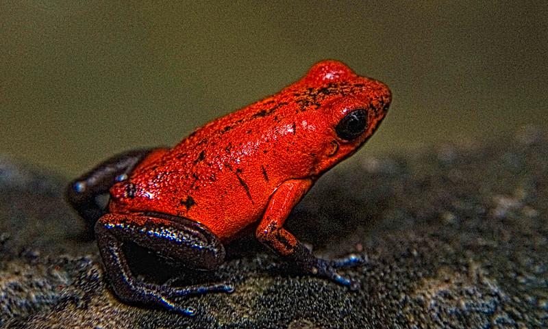 Strawberry dart frog .jpg