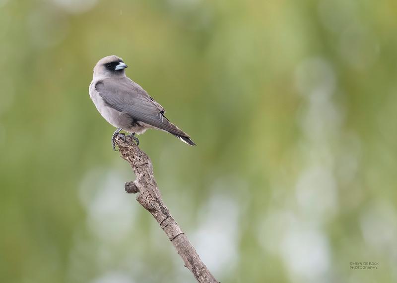 Black-faced Woodswallow, Woodstock, QLD, Jan 2020-3.jpg