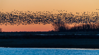 NEW!  Great Bend KS - Migratory Birds, March 2020