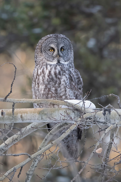 #1355 Great Gray Owl