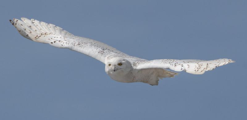 Snowy Fitzy wide wings-2