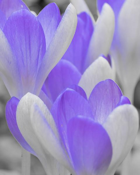 Blue and White Crocus