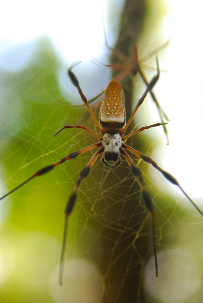 banana spider (golden silk spider).  Silver River State Park, FL