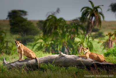 Two Lioness looking for their prey