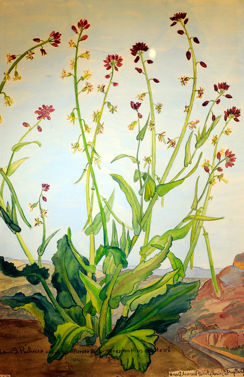 ". Jane Pinheiro painted what she called a ""twist flower.\"" \""When they were wild,\"" is the Huntington Library\'s new Wildflower exhibition which kicks off a month of talks, workshops and wildflower sales. San Marino, CA 3/8/2013(John McCoy/Staff Photographer)"