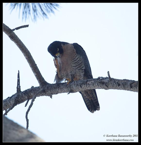 Peregrine Falcon, La Jolla Cove, San Diego County, California, October 2011