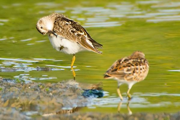 ? shorebird
