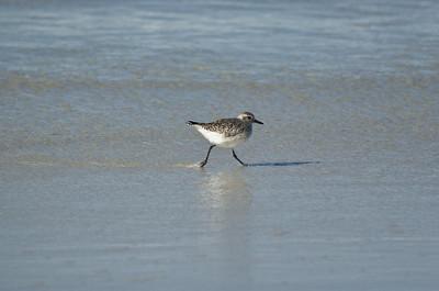 Asilomar Birds, January 2012