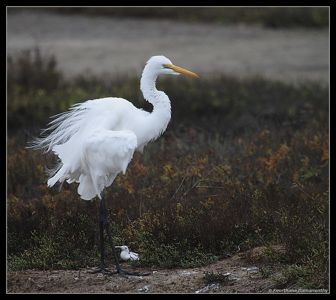 Great Egret Just landed, Famosa Slough, San Diego County, California, December 2008