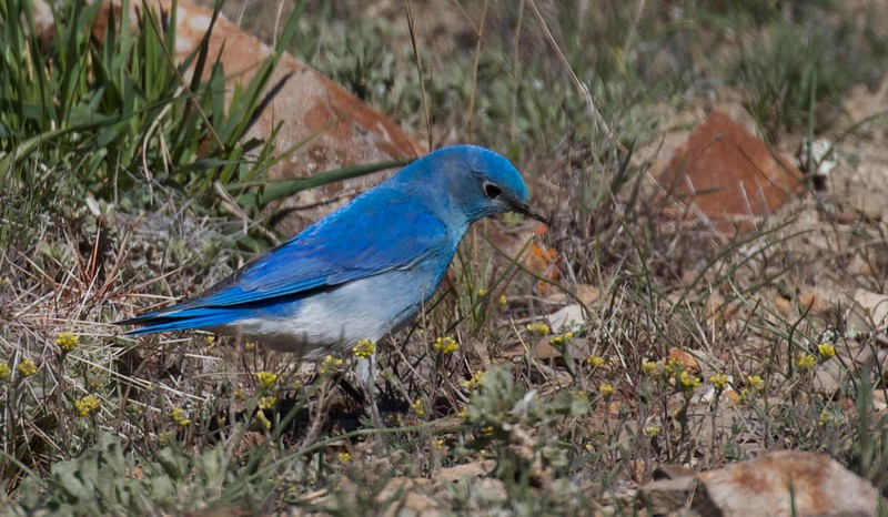 Mountain Bluebird Yellowstone National Park WY IMG_4510.jpg