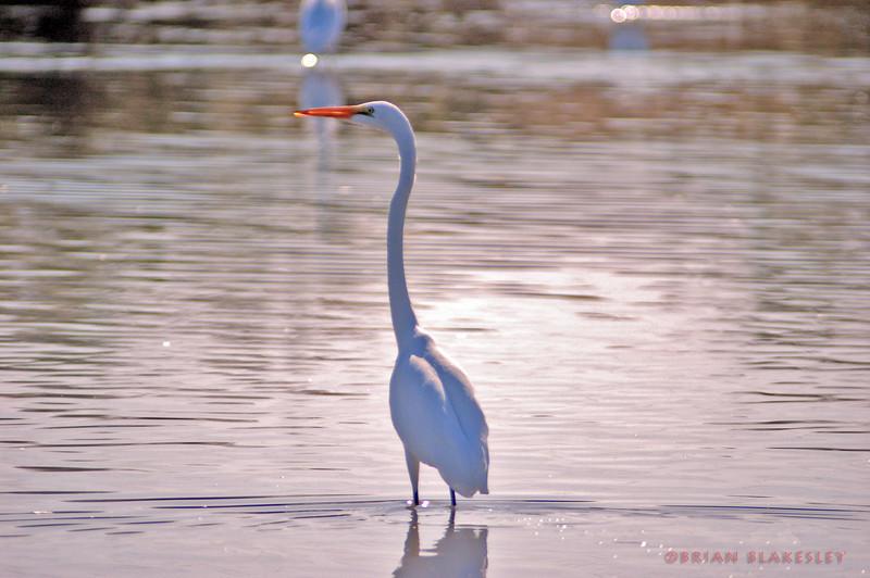 Another Great Egret  Taken 2009.11.21, Gilbert, AZ, USA
