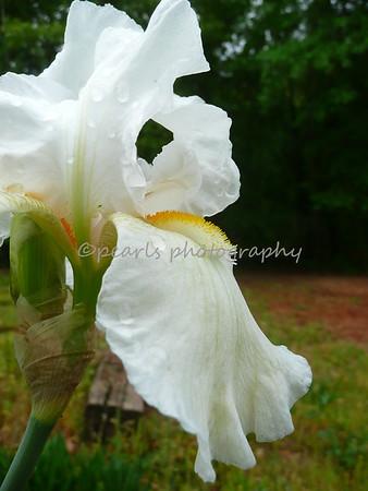 Iris Gainesville 04-28 -2008