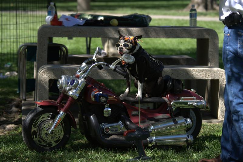 boston terrier oct 2010 199.jpg