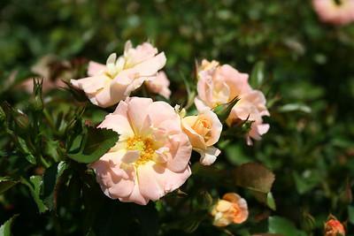 Peach Drift® Rose