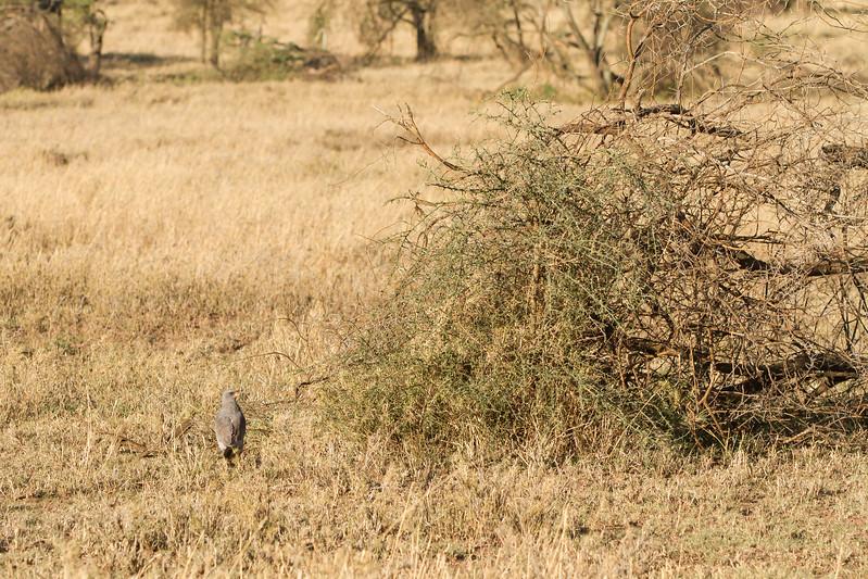 Dark Chanting Goshawk hunting - Serengeti National Park, Tanzania