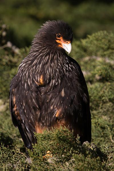 Striated Caracara, Carcass Island, Falklands