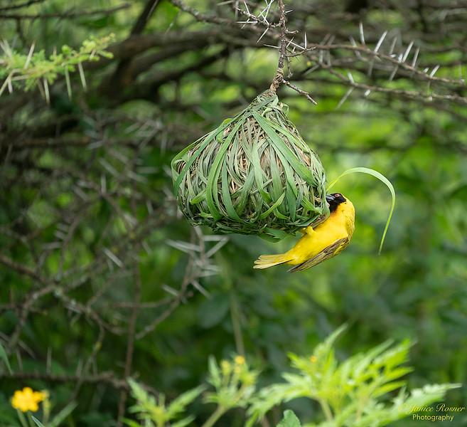 Lesser Masked Weaver Weaving Nest