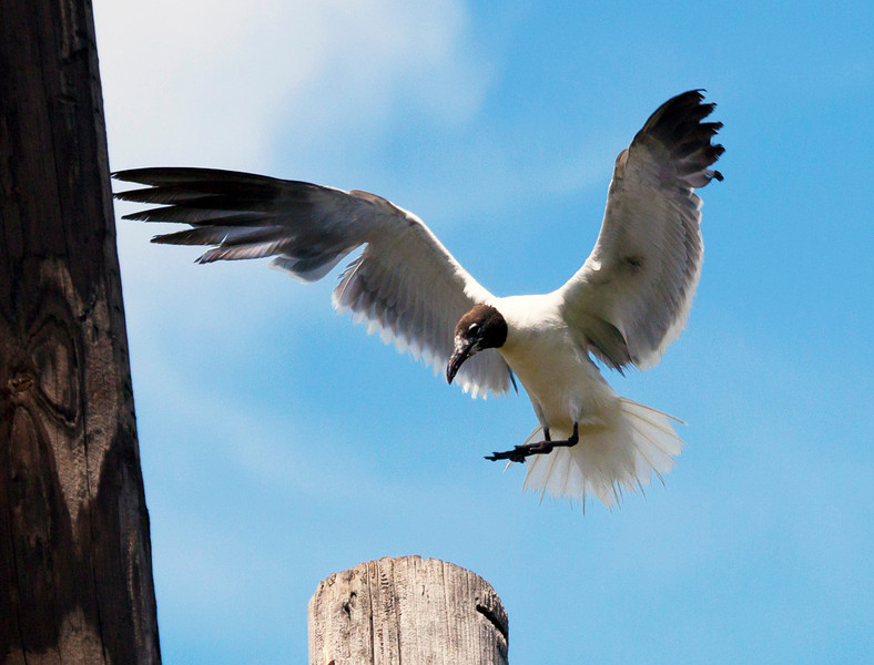 Off to the side, a Laughing Gull lands on a telephone pole.