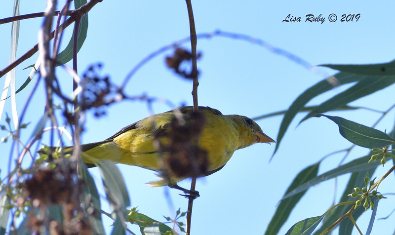 Western Tanager  - 10/6/2019 - Sabre Springs Creek trail