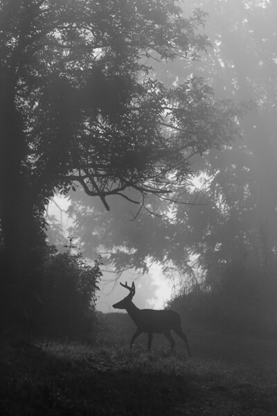 White tailed buck silhouette, Black and white