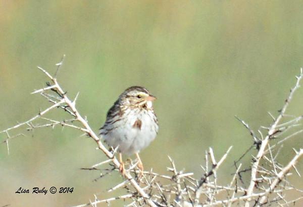 Savannah Sparrow  - 3/2/14 - Birding 100 San Diego Bird Festival