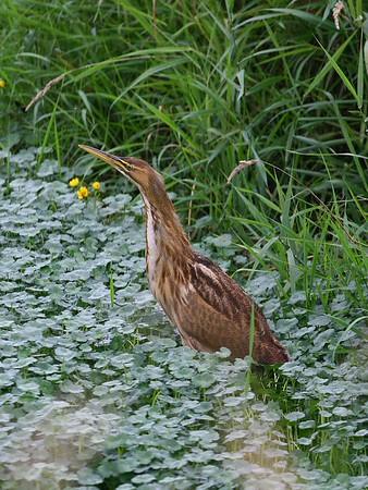 Waterfowl, herons and shorebirds