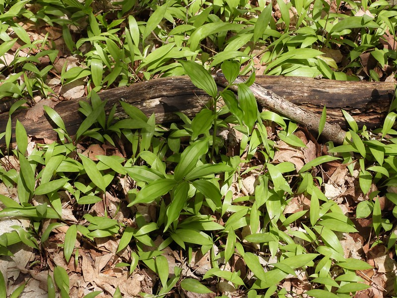 Largeflower Bellwort (Uvularia grandiflora) - two plants near photo centre