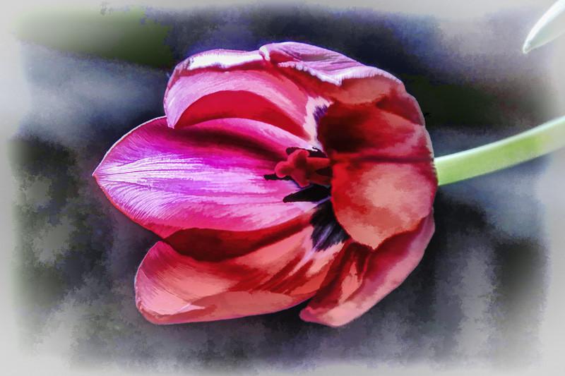 December 23 - Mammoth tulip.jpg
