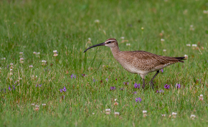 Whimbrel summering on Park Point Duluth MN -0282.jpg