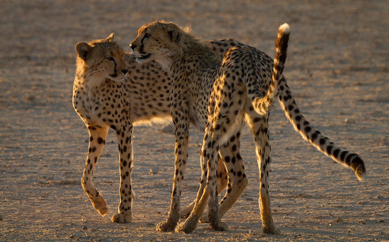 Cheetah brothers greeting each other at sunrise, Kalahari Desert