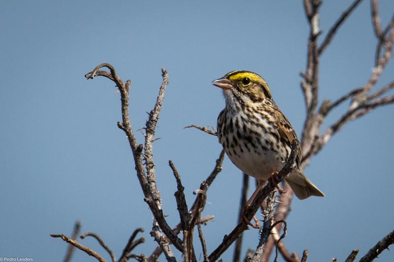 Savannah Sparrow in the Dunes
