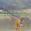 Tiger on the shores of a lake